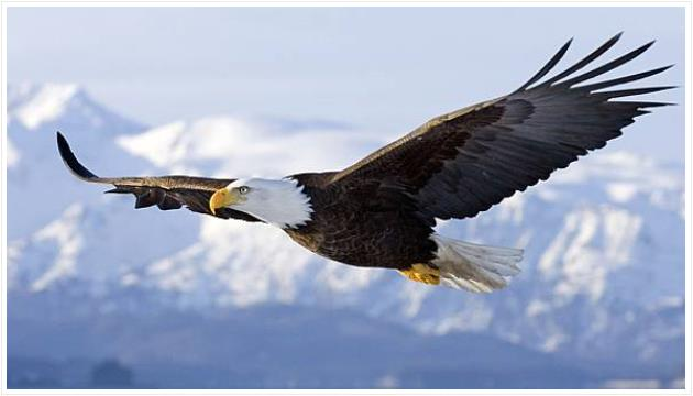 Condor Bald Eagle USA
