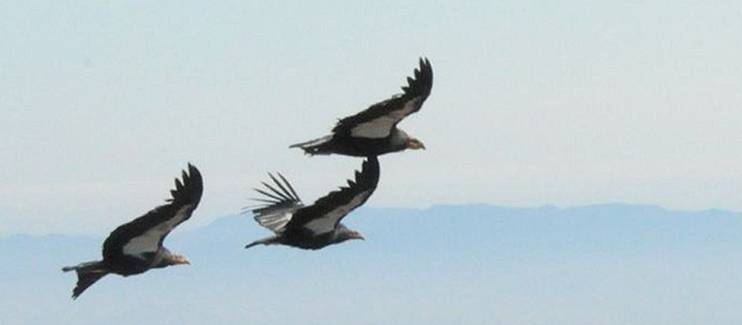 3 Condors1_JPEG
