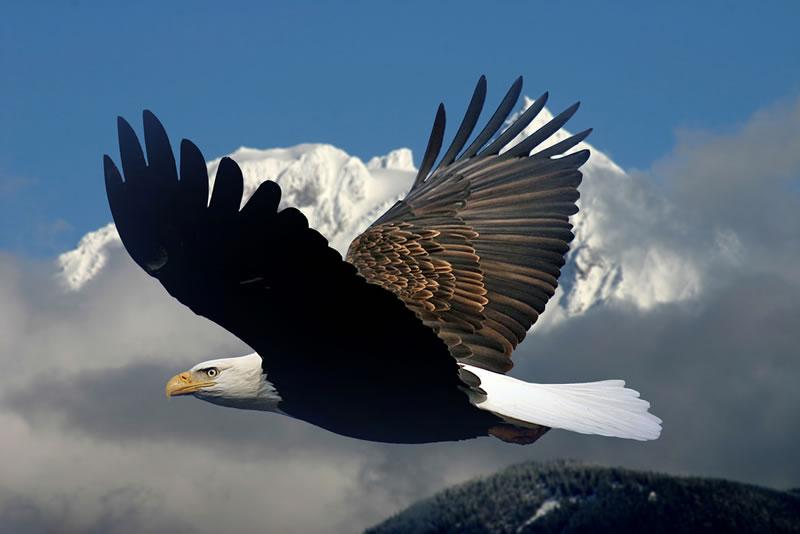 Condor in vlucht